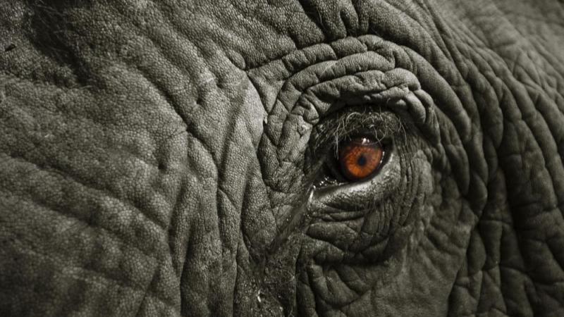 Elephant Poaching in Africa: The Underground Ivory Trade