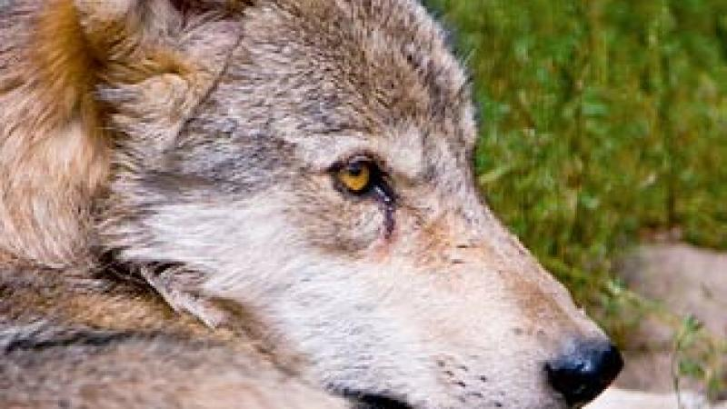Wolf Hunting Season: A Vicious Cycle?