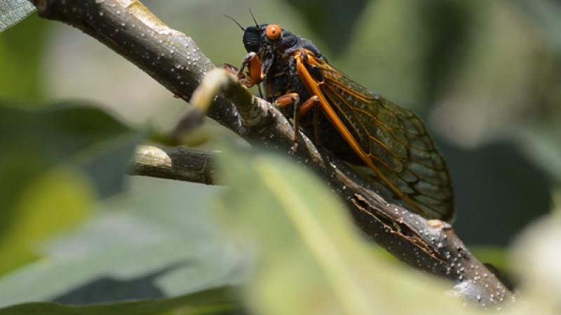 Song of the Cicadas