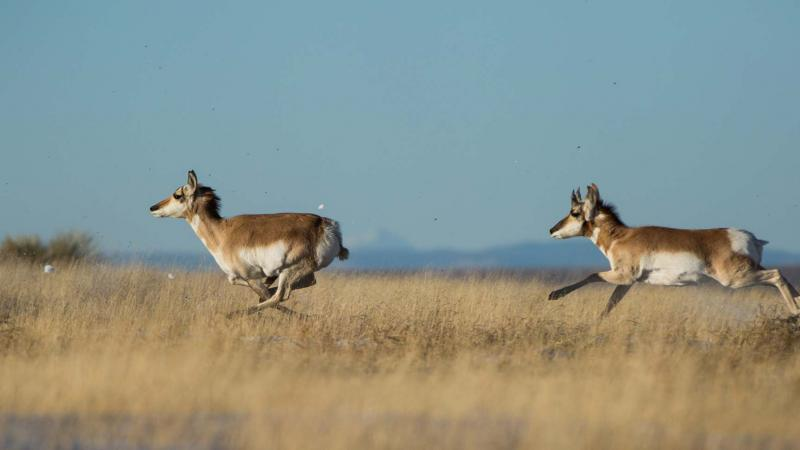Pronghorn Revival