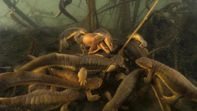 March of the Newts
